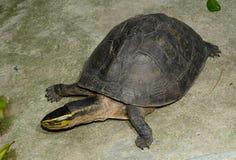 Azjatycki Pudełkowaty żółw Obrazy Stock