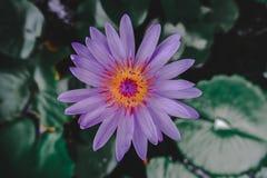 Azjatycki purpurowy lotos ten kwitnienie w stawie obraz stock