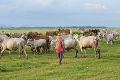 Azjatycki rolnik z jej krowami na polu Obraz Stock