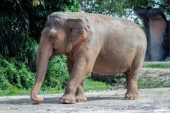 Azjatycki słoń Chodzi Prosto na lewo od kamery zdjęcia stock