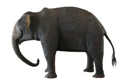 Azjatycki słoń na bielu fotografia royalty free