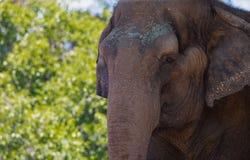 Azjatycki słoń przy San Diego zoo w lecie podnosi jego bagażnika zdjęcia stock