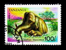 Azjatycki słoń, seria, około 1991 (Elephas maximus) Fotografia Stock