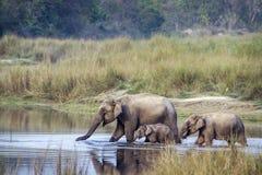 Azjatycki słoń w Bardia parku narodowym, Nepal Zdjęcie Royalty Free