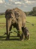 Azjatycki słoń z jej łydką Zdjęcie Royalty Free