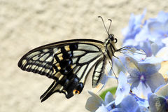 Azjatycki swallowtail zdjęcie royalty free