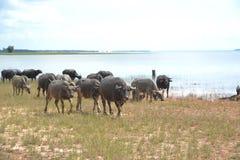 Azjatycki Tajlandzki bizon fotografia royalty free