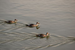 Azjatycki treeduck dopłynięcie w jeziorze Zdjęcia Royalty Free