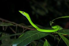 Azjatycki winogradu wąż Ahaetulla Prasina na gałąź podczas nocy Obraz Stock