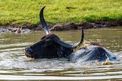 Azjatycki wodny bizon lub Bubbalus bubbalis fotografia royalty free