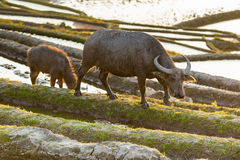 Azjatycki wodny bizon na ryżowych polach tarasy Fotografia Royalty Free