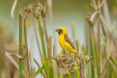 Azjatycki Złoty tkacz na jego gniazdeczku Fotografia Royalty Free