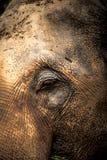 Azjatyckich słoni Zamknięty up Fotografia Royalty Free