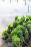 Azjatyckiego średniorolnego przeszczepu ryżowa rozsada w ryż odpowiada ziemię uprawną, śliwki zdjęcia stock