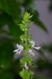 Azjatyckiego basilu biały kwiat Obrazy Stock