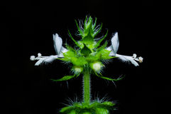 Azjatyckiego basilu biały kwiat Zdjęcia Royalty Free