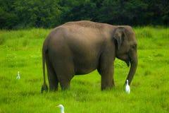 Azjatyckiego dzikiego Eliphant, Sri lanki minneriya park narodowy - zdjęcia stock