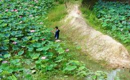Azjatyckiego średniorolnego zrywania lotosowy kwiat, flora staw Obraz Stock