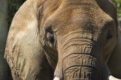 Azjatyckiego słonia twarz - Pachyderm zdjęcia royalty free