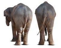 Azjatyckiego słonia zadek zdjęcia royalty free
