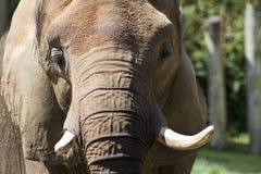 Azjatyckiego słonia zbliżenie - Pachyderm obraz royalty free