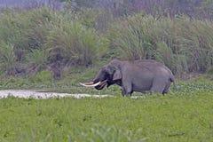 Azjatyckiego słonia tusker woda pitna Obrazy Royalty Free