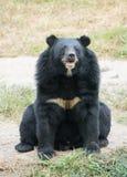 azjatyckiej black bear Zdjęcia Stock