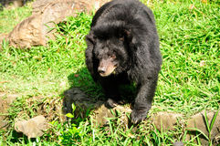 azjatyckiej black bear Zdjęcie Stock