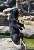 azjatyckiej black bear Zdjęcia Royalty Free