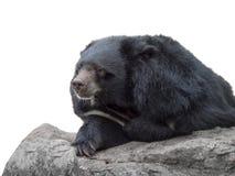azjatyckiej black bear Fotografia Stock