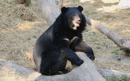 azjatyckiej black bear Obrazy Royalty Free