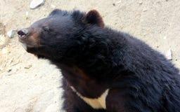 azjatyckiej black bear Obraz Royalty Free