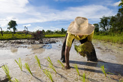 azjatykci średniorolni ryż Obrazy Royalty Free