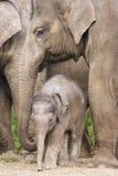 azjatykci dziecko słoń Obrazy Royalty Free