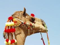 azjatykci portret wielbłądów Zdjęcia Royalty Free