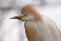 azjatykci ptak Fotografia Royalty Free