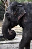 azjatykci słoń Fotografia Royalty Free