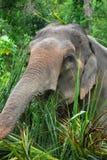 azjatykci słoń Obraz Royalty Free