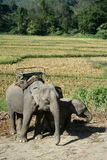 azjatykci słoń Obrazy Royalty Free
