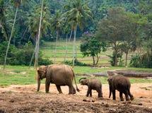 azjatykci słoń obrazy stock