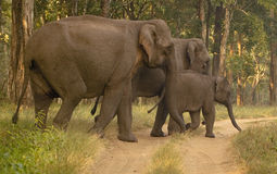 azjatykci słoń zdjęcie royalty free