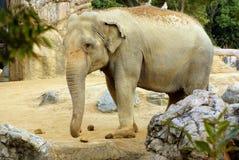 azjatykci słoń Zdjęcia Royalty Free