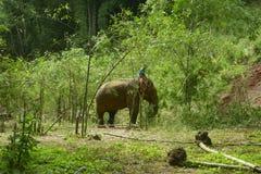 azjatykci słonia Obraz Royalty Free