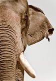 azjatykci słonia Zdjęcie Royalty Free