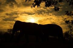 azjatykci słonia Fotografia Stock