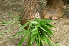 azjatykci słonia Zdjęcia Stock