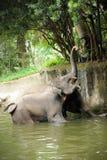 azjatykci słonie Zdjęcie Royalty Free