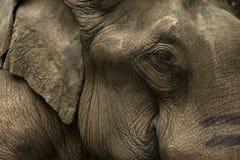 azjatykci słonia Fotografia Royalty Free