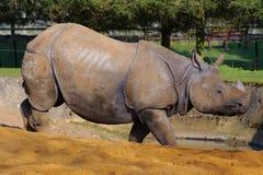 azjatykci wieczór nosorożec słońce Zdjęcia Stock