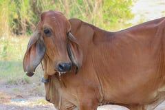 azjatykcia krowa Fotografia Stock